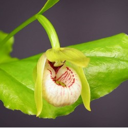 Cypripedium debile - Dwarf Cypripedium