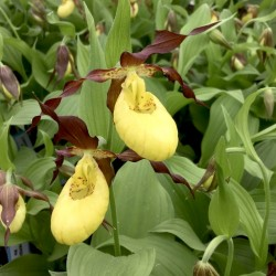 Cypripedium 'Otto' (3-4 shoots)