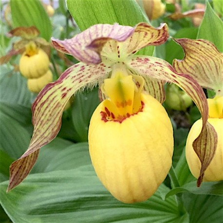 Cypripedium 'Inge'