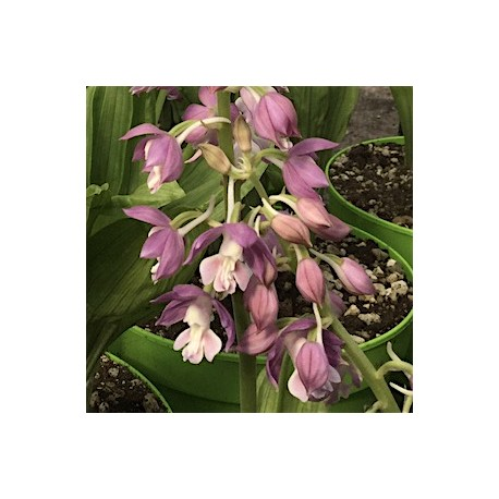 Calanthe Hybrid 'Lilac-blue'
