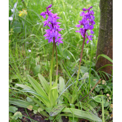 Orchis mascula - Early Purple Orchid