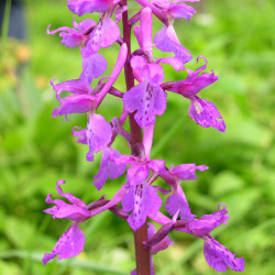 Orchis mascula - Orchidée mâle