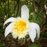 Pleione grandiflora 'ellow Lip'
