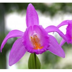 Pleione aurita- Tibetorchidee aurita