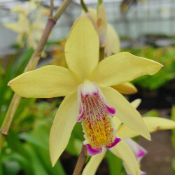 Bletilla 'Yellow Bright'