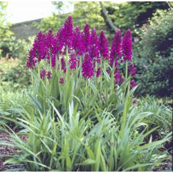 Dactylorhiza purpurella - Orchis pourpre