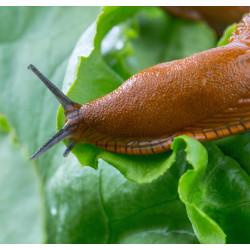 Barrière anti-limaces - 1kg - Contre les limaces et escargots