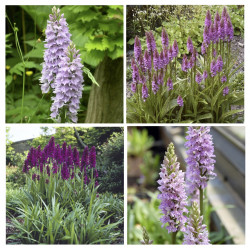 Dactylorhiza Orchids 4 Pack - Orchis Garden