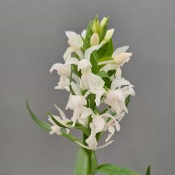 Dactylorhiza majalis 'alba' - Western Marsh Orchid