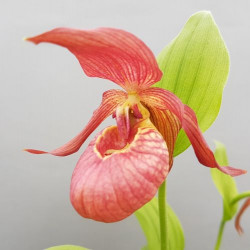 Cypripedium 'Tanja Pinkepank' (3-4 stems)