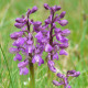 Orchis morio - Green-winged orchid