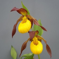 Cypripedium 'Lukas'