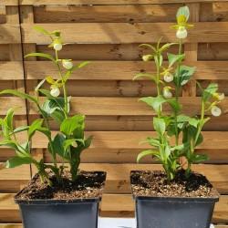 Cypripedium californicum - Californisch Venusschoentje