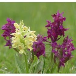 Dactylorhiza sambucina - Orchidea sambucina