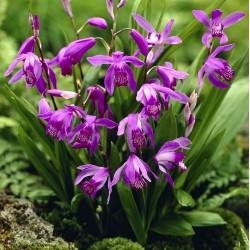 Bletilla striata 'purple' - Orchidée jacinthe