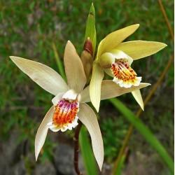 Bletilla ochracea - Okergele bloemen Japanese Orchis
