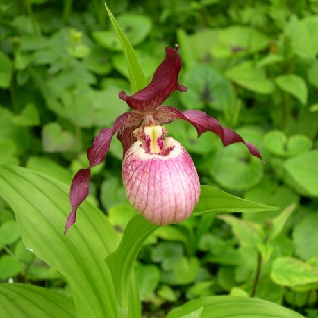 Cypripedium 'Gisela'