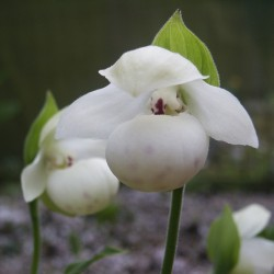 Cypripedium flavum 'alba'