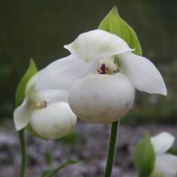 White Garden Orchid ❀ Cypripedium flavum alba ✿ Trendy garden