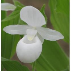 Cypripedium reginae 'alba' - Wit Koninklijk Vrouwenschoentje