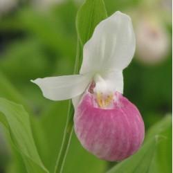 Freiland orchidee Cypripedium reginae - Cypripedium royal