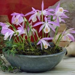 Pink-mauve Garden Orchid ❀ Pleione formosana ✿