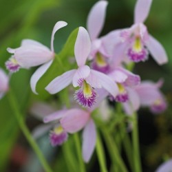 Pink-mauve Garden Orchid ❀ Pogonia ophioglossoïdes ✿ Collection Garden