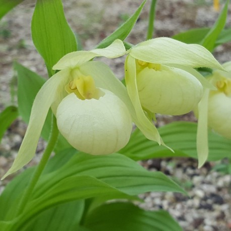 Cypripedium 'Michael' white