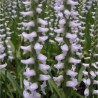 6-pack of Spiranthes Chadd's Ford