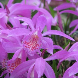 Pack of 2 X 1 Liter pot of Pleione 'Tongariro'
