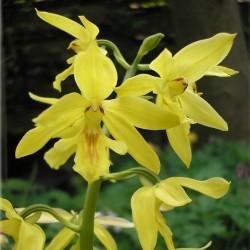 Calanthe sieboldii (2-3 shoots)