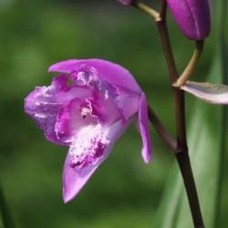 Bletilla striata 'Trilips' - Japanorchidee 'Tri-lips'