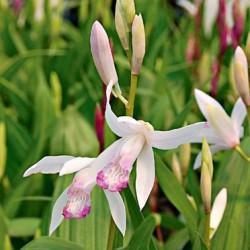 Bletilla striata 'kuchibeni' - Orchidea di giacinti 'kuchibeni'