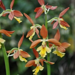 Calanthe 'Takane' (2-3 tiges)