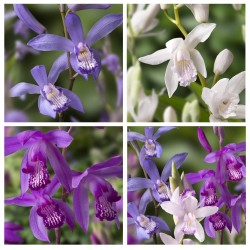 Assortiment 4 Bletilla - Orchidées jacinthes
