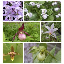 Assortment of 6 varieties of garden orchids