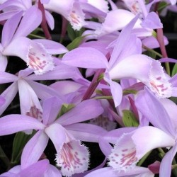 Pack of 2 X 1 Liter pot of Pleione 'Verdi'