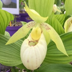 Cypripedium ''Lady Dorine'