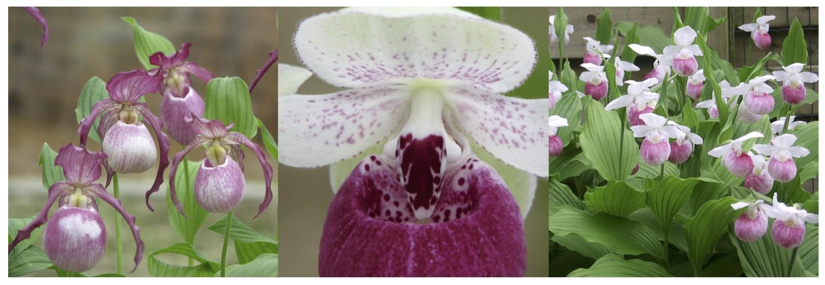 Comment Planter Une Orchidée où et comment planter mon orchidée sabot de venus ?