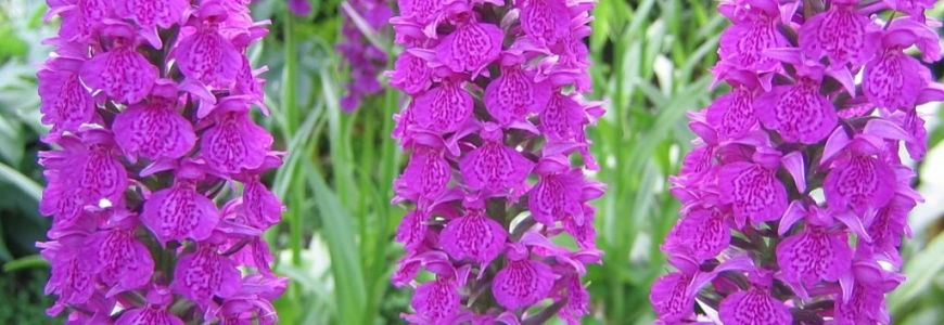 What is the best way to choose your Dactylorhiza garden orchid?